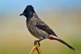 بلبل خوش آواز پرندہ