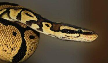 سانپ کے ذریعے کورونا وائرس کی ویکسین